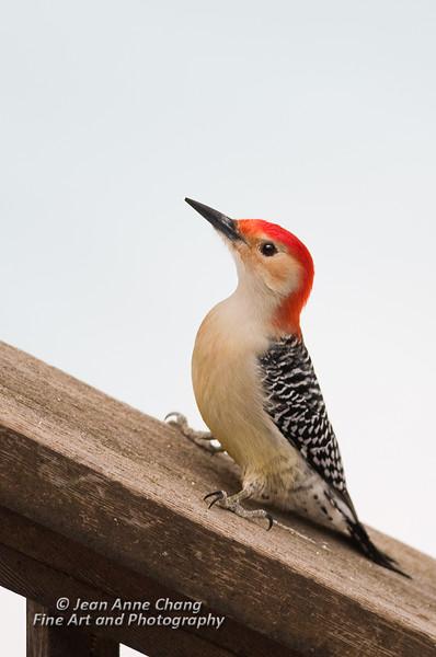 Red-Bellied Woodpecker - 4