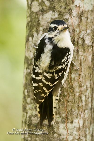Downy Woodpecker Clinging to Tree