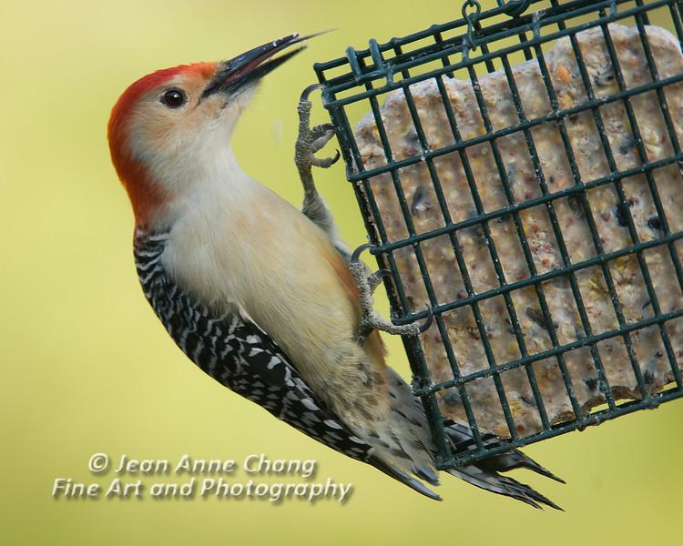 Red-Bellied Woodpecker -7