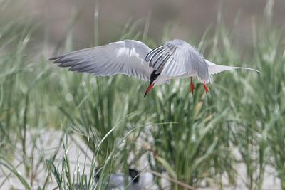 #590 Common Tern