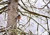 Robin In Spring Snow