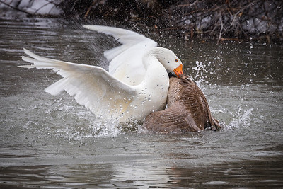Battle of the Pond