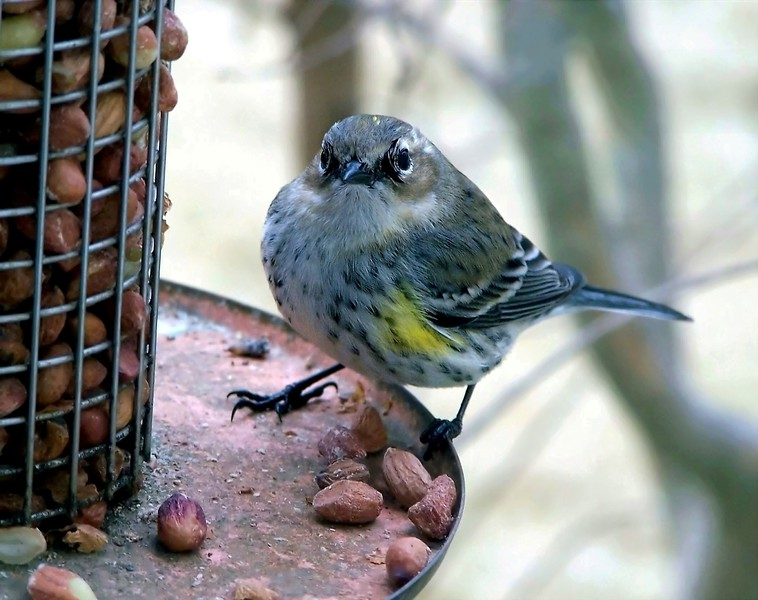 HEY QUIT TAKIN MY PICTURE Dendroica coronata YELLOW-RUMPED WARBLER