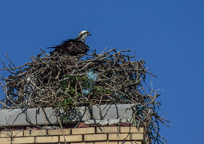 Osprey in a Nest, Sandy Hook, New Jersey