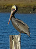Brown Pelican, <em>Pelecanus occidentalis</em> San Leandro Bay, Oakland, Alameda Co., CA 1/16/2012