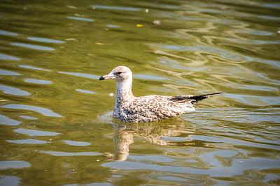 Piebald Gull