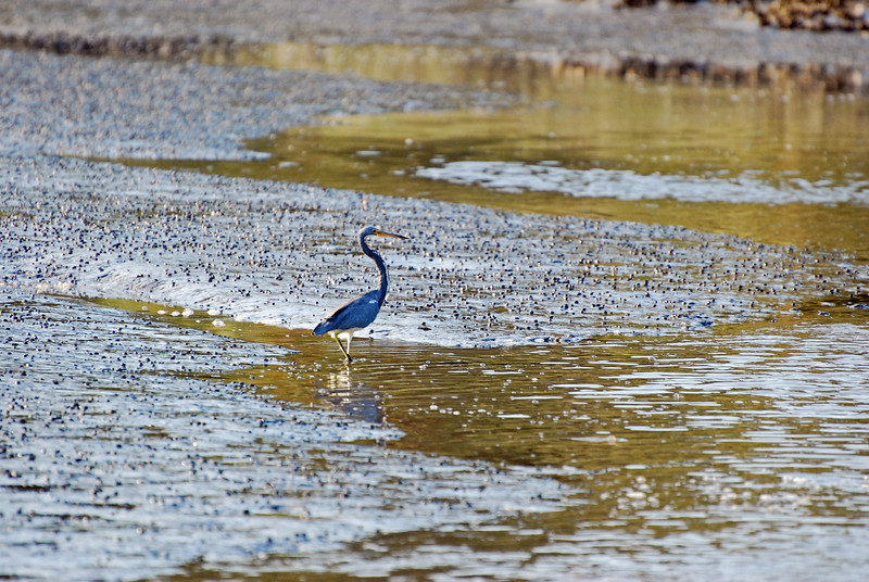 Tricolored heron Cumberland Island National SeaShore