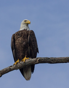 Bald Eagle, Andover, New Jersey