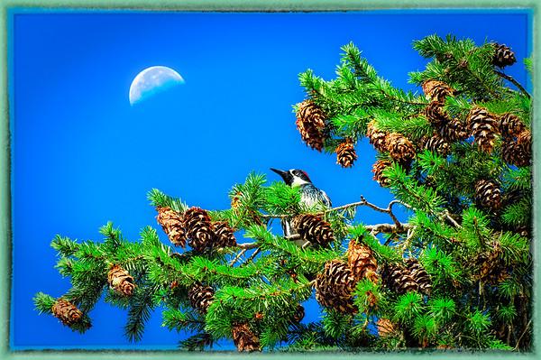 Woodpecker and Moon