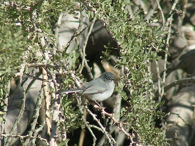 648 blacktail gnatcatcher  nov 28, 2003, Awatookee Wash, AZ