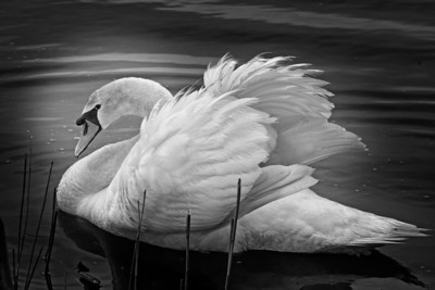 """Prince of Darkness"", Mute Swan, Silver Bay, NJ."