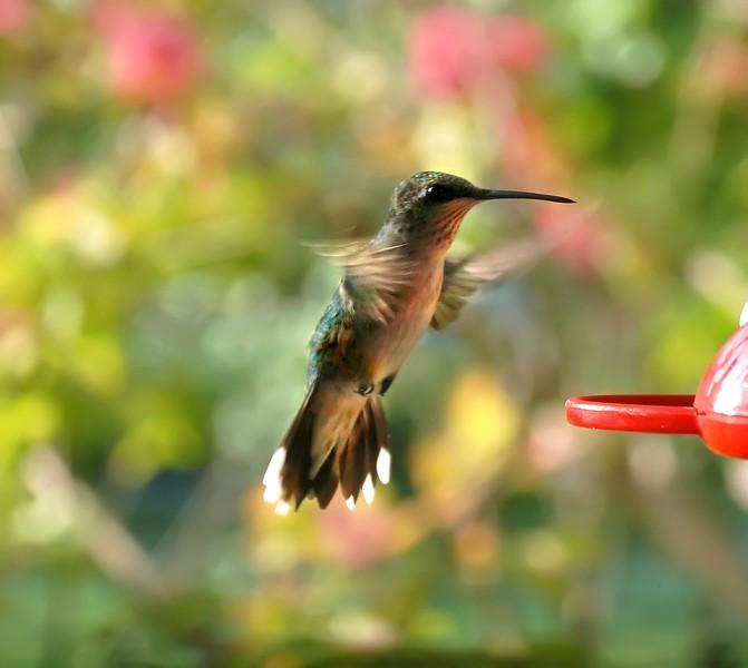 Rubythroated Hummingbird juv 165