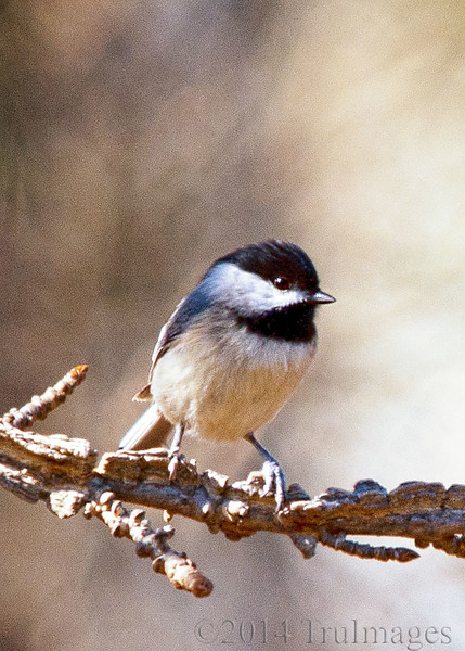 Mar 12<br /> In line<br /> <br /> A chickadee awaiting its turn at the birdfeeder in the backyard.