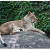 Lioness at LPZ