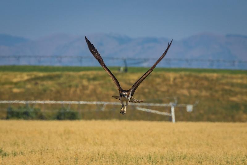 Incoming Osprey