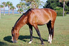 Beautiful wild horse grazing on the grass on Cumberland Island Cumberland Island Georgia Wild Horses Cumberland Island National SeaShore