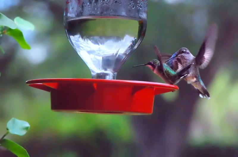 Immature Ruby-Throated and Immature Black-Chinned Hummingbirds