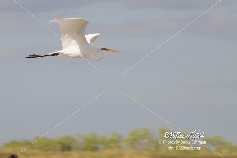Great White Egret_070