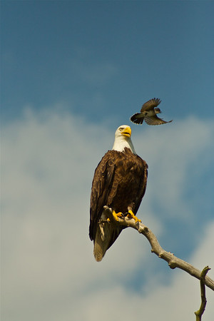 Eastern Kingbird and Bald Eagle, Andover, New Jersey