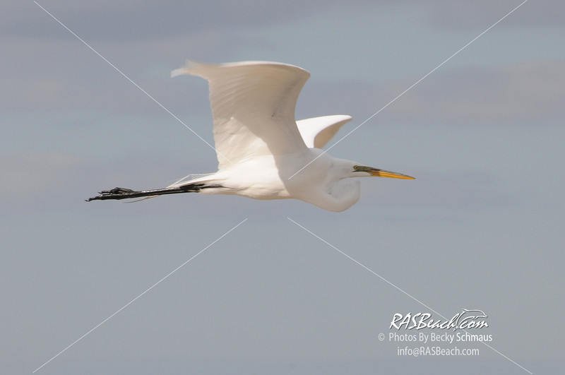 Great White Egret_070C