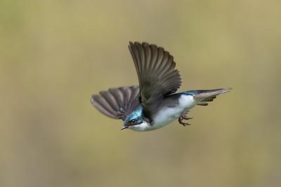#1383 Tree Swallow