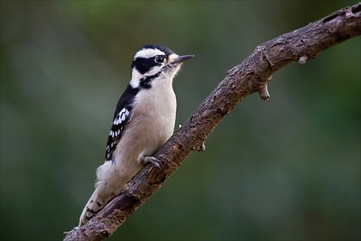 Downy Woodpecker, Silver Bay, NJ.