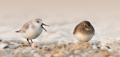 Sanderling and Dunlin