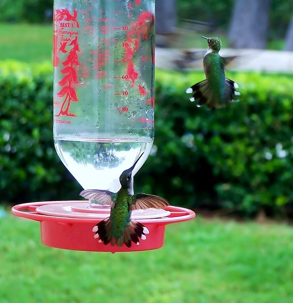 Aggressive feeder behavior Black-chinned Hummingbird/ 2 juv males