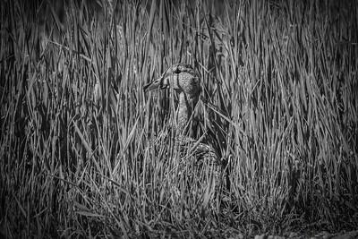 Hidden Quack