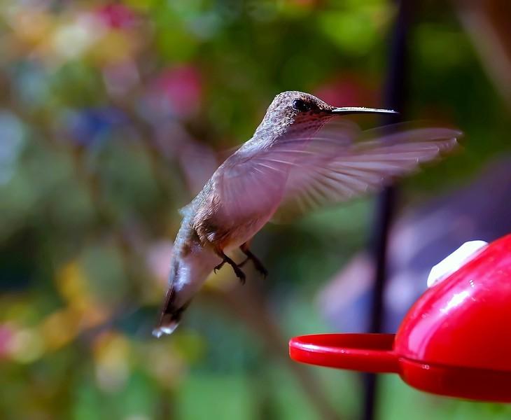 Rubythroated Hummingbird juv 006