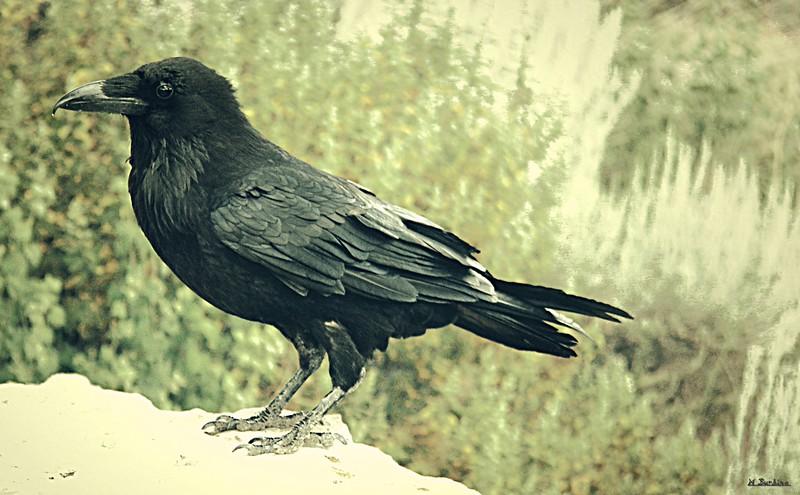 Canyon Crow