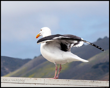 Pismo Gull