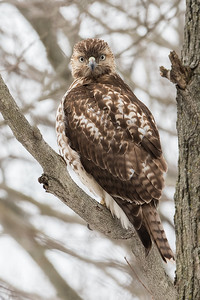 # Red Tail Hawk
