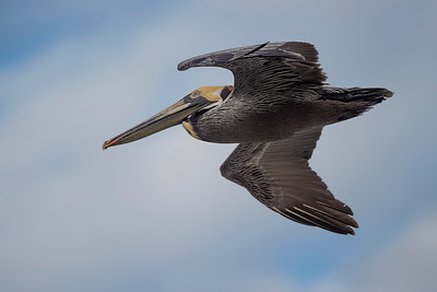 #1164 Brown Pelican