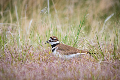 Mamma Killdeer