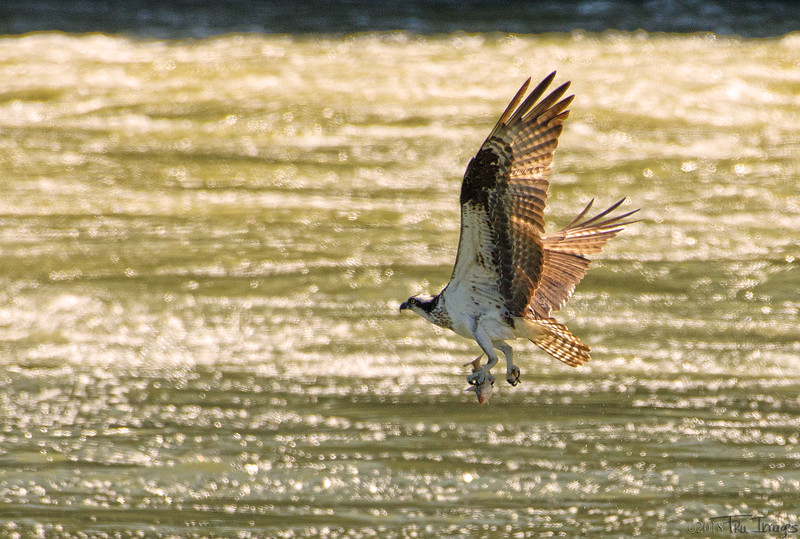 Osprey Impressions!