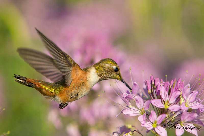 """Floral Delight""<br /> Rufous Hummingbird drinks nectar to his delight while defending his territory in the flowers from other hummingbirds."