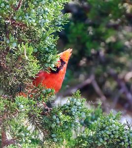 Cardinal-in-Juniper-0897
