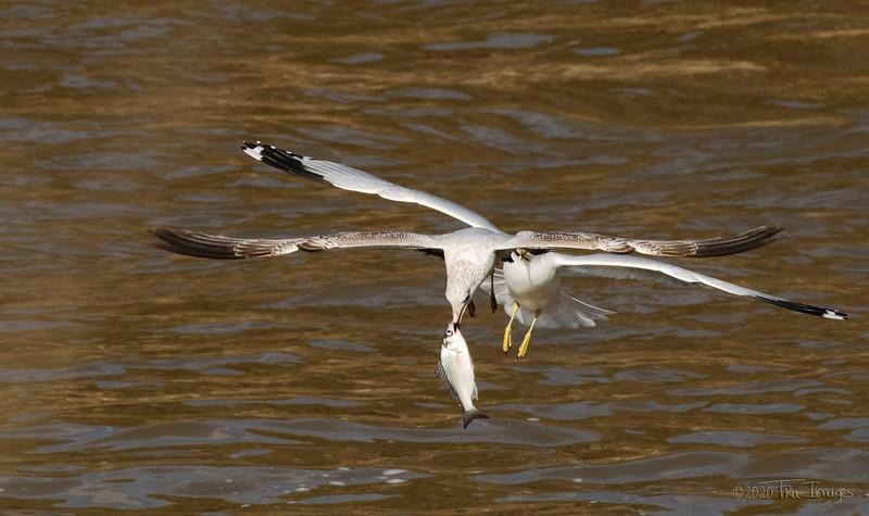 Seagull Shenanigans