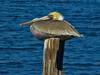 Brown Pelican, <em>Pelecanus occidentalis</em>, acting silly. ( II ) San Leandro Bay, Oakland, Alameda Co., CA 1/16/2012