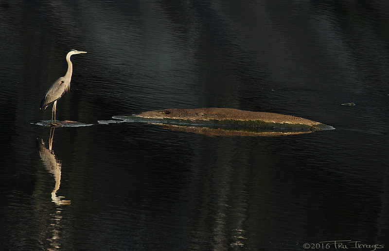 The Heron and Reflection