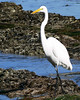The great egret lives along salt and freshwater marshes, marshy ponds and tidal flats.
