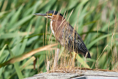 Green Heron Las Gallinas Valley Sanitary District