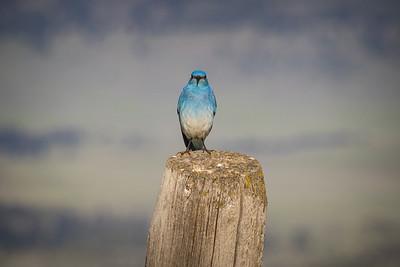 Bluebird Stare