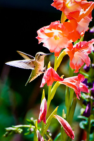 Hummingbird and Gladiolas 2015