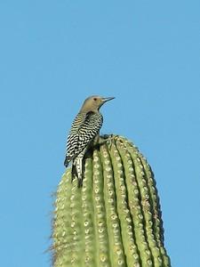 511 gila woodpecker 2, nov 28, 2003, Jenny's Wash, Ahwatukee, Phoenix, AZ