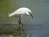 Snowy Egret, Gilbert, AZ,tom's AZ trip mar 2012a 052
