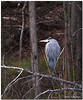 Feb 22<br /> Great blue heron, relaxing