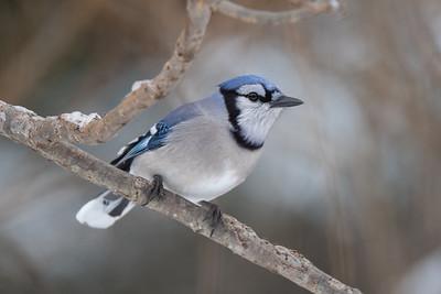 #1554 Blue Jay
