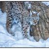 Eurasian Lynx at LP Zoo